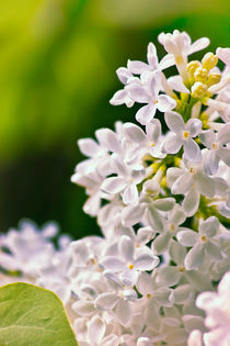 White Lilac Flowers by Vicki Field