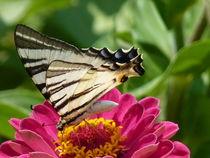 Schmetterling - Poesie der Natur von Nona Simakis
