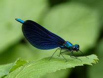 Blaue Libelle von Nona Simakis