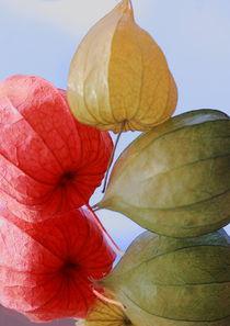 farbige Physallis von Gisela Peter