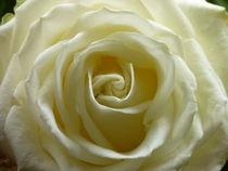 White Rose von Nona Simakis