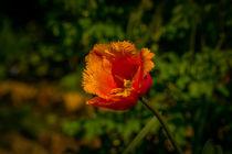 orange Papageientulp von Gisela Peter