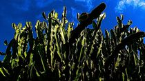 Im Kaktuswald von leoncanarias