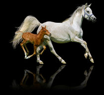 Arabian horses mare and foal in gallop  von paganin