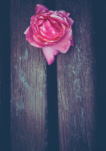 Pink Rose - The Gift by Sybille Sterk