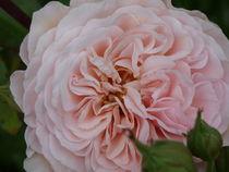 Rosa Rose by bibiblogsberg
