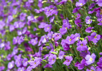 Violet flowers von Tobiasz Stefaniak