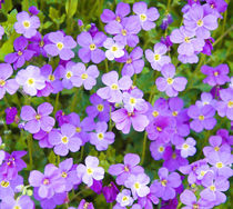 Violet flowers II by Tobiasz Stefaniak