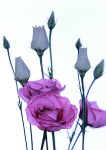 Rosenpracht  von Gisela Peter