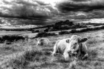 Resting Cows by David Pyatt