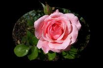 Blooming-rose-bun