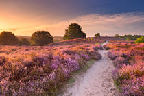 Path through blooming heather at sunrise, Posbank, The Netherlands by Sara Winter