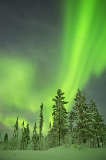 Aurora borealis over snowy trees in winter, Finnish Lapland by Sara Winter