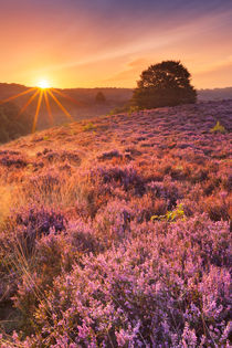 Blooming heather at sunrise at the Posbank, The Netherlands by Sara Winter