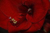 Amaryllis von Heide Wilhelm