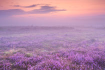 Fog over blooming heather near Hilversum, The Netherlands at dawn by Sara Winter