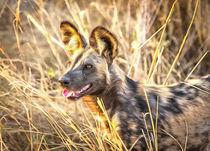 Alert African Wild Dog by Graham Prentice