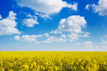 Blooming canola under a blue sky with clouds by Sara Winter