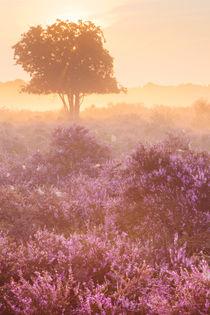 Fog over blooming heather near Hilversum, The Netherlands at sunrise von Sara Winter