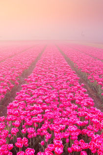 Sunrise and fog over rows of blooming tulips, The Netherlands by Sara Winter