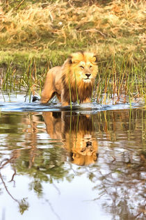 Lion in River with Reflection by Graham Prentice
