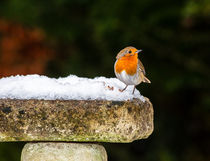 Robin on Snowy Birdbath by Graham Prentice