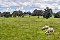 Sheep Grazing the Meadow by Colin Metcalf