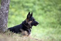 German Shepard dog lay outside under tree by anja-juli
