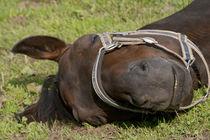 Horse sleep outside on pasture von anja-juli