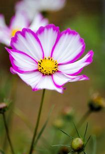 Cosmos-pinkwhite