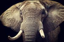 Elefanten Portrait by AD DESIGN Photo + PhotoArt