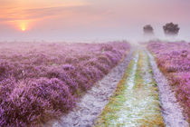 Path through blooming heather and fog, sunrise, Hilversum, The Netherlands von Sara Winter