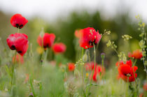 Poppies (Papaver rhoeas) in field in spring, by Perry  van Munster