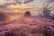 Blooming heather at sunrise, Posbank, The Netherlands by Sara Winter
