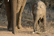Baby elephant feeding with trunk parallaling mother's by Yolande  van Niekerk