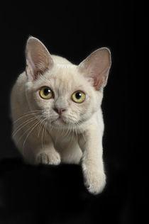 Burma Kitten / 5 by Heidi Bollich