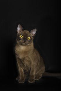 Dsc-2555-dot-burma-kitten5-09-15