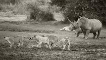 Mother Rhino scaring off Lions, B&W by Yolande  van Niekerk