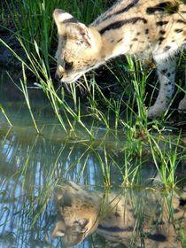 Serval-spiegelbild