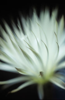 Echinopsis flower macro 1 by Alexander Kurlovich