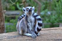 Ein Lemur in der grünen Natur von Gina Koch
