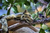 Ozelot im Mangobaum mit einem Vogel von Gina Koch