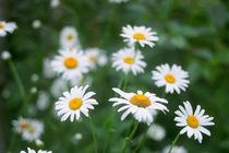 ox-eye daisy flowers  by Alexander Kurlovich