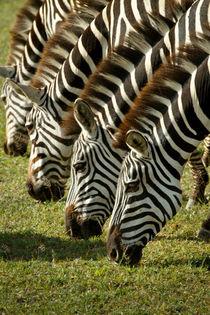 4er Zebra von martin buschmann