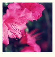 Azalea blow von chrisphoto