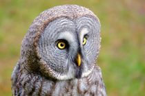 Bartkauz - Great Grey Owl by Jörg Hoffmann
