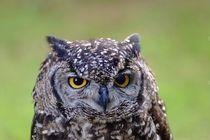 Eule - Owl by Jörg Hoffmann