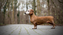 Panorama Dackel Dachshund by Caren Kluth