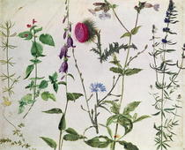 Eight Studies of Wild Flowers  by Albrecht Dürer