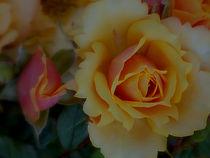 Velvet Orange Roses  by bebra